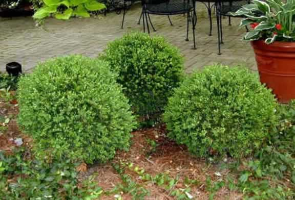 Green solutions landscaping services llc landscaping in for Low maintenance evergreen shrubs