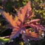 PhysocarpusSeward-leaf