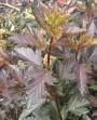 Ninebark-leaves