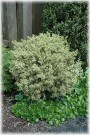 Variegata English Boxwood
